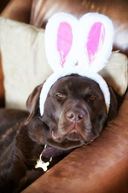 lab with bunny ears